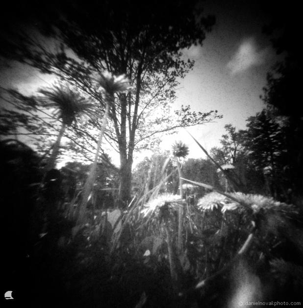 Dandelion Heart, Pinhole Photography, terraPIN ACME, Rollei Retro 80s