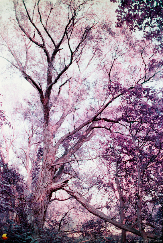 A Majestic Old Tree, Birdsong Park, photographed with Pentax Spotmatic on Lomochrome Purple film
