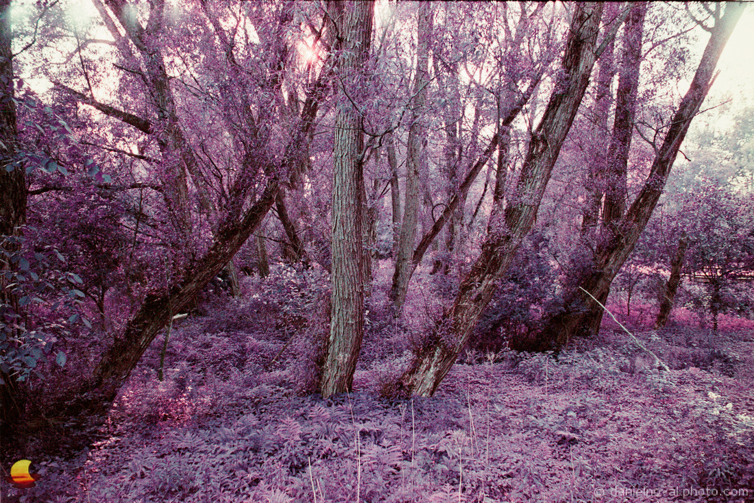 Wonderful Old Trees, Birdsong Park, photographed with a Pentax Spotmatic on Lomochrome Purple film