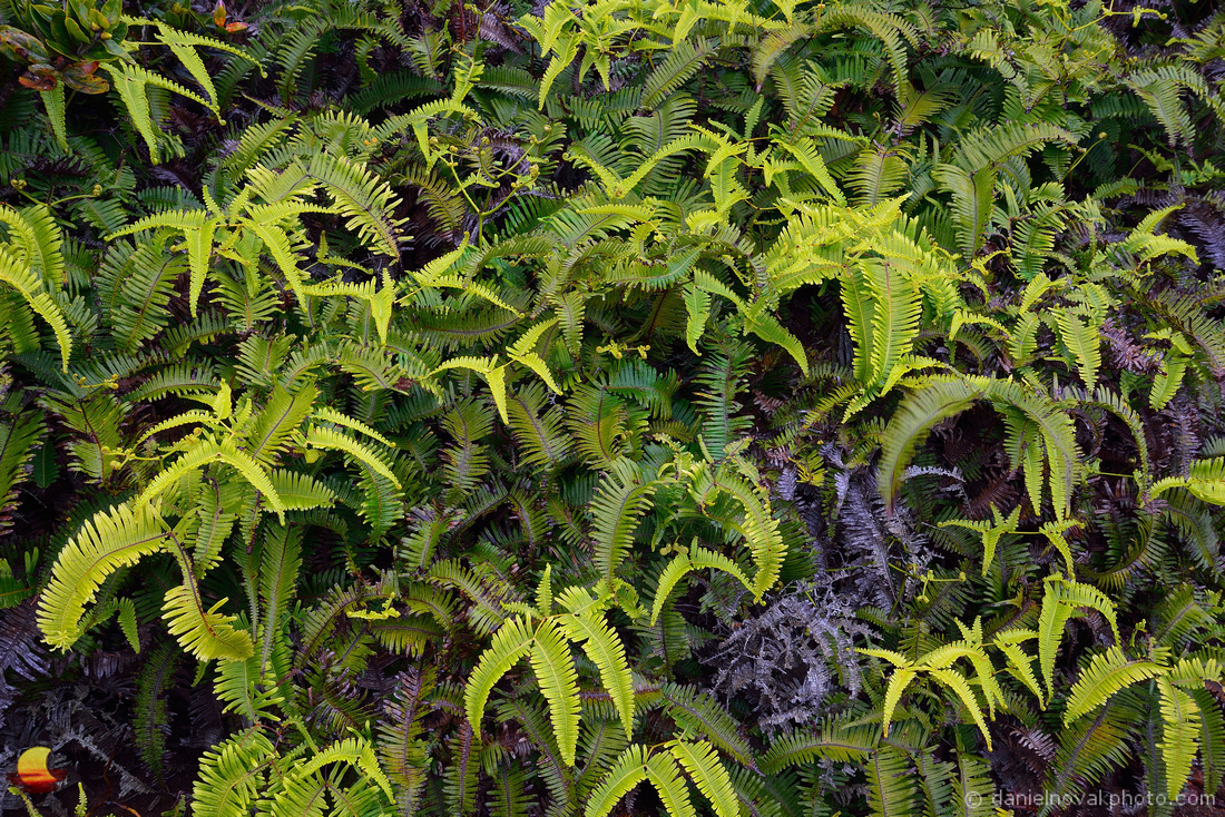 Paradise Ferns, At the Edge of Kakalau Valley, Kauai, Hawaii