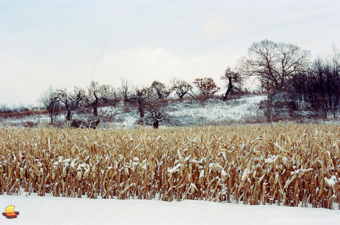 Corn & Dancing Trees, Rural Southtowns of Buffalo, NY in Winter