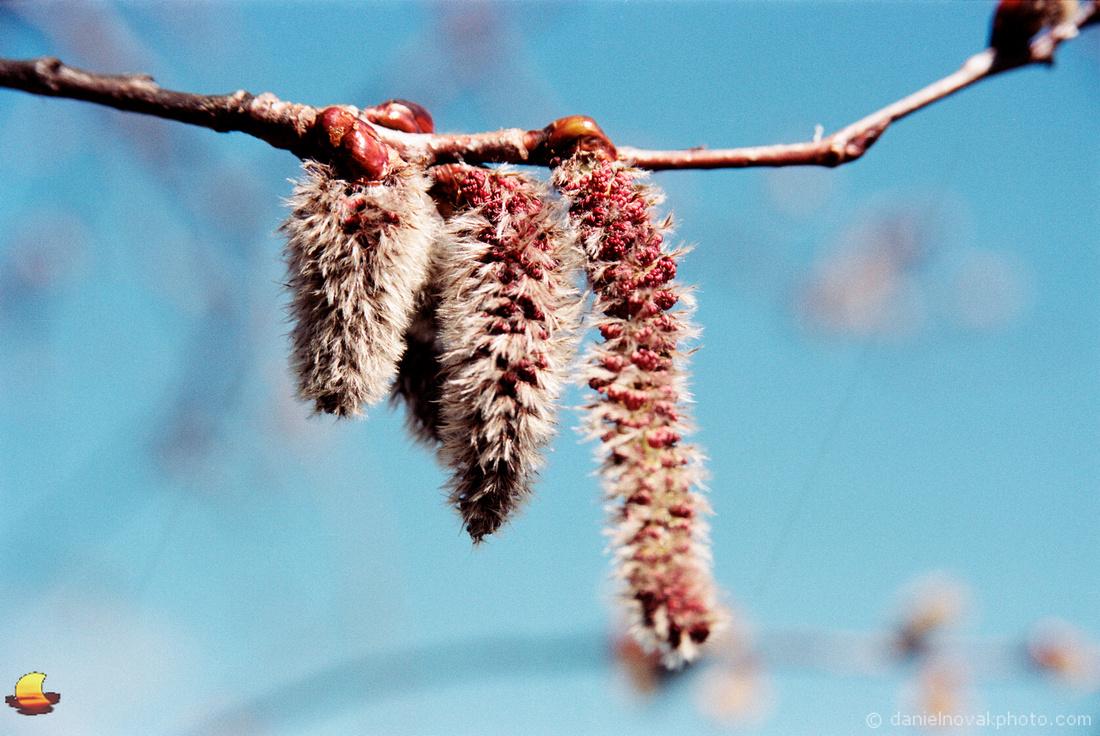 Catkins, Blue Sky Theme, Spring in Western New York