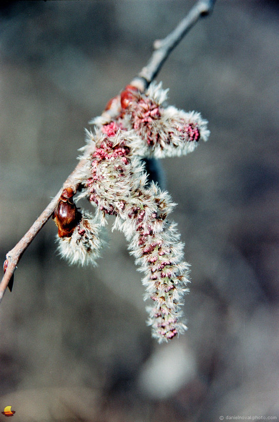 Catkins, Gray Theme, Spring in Western New York