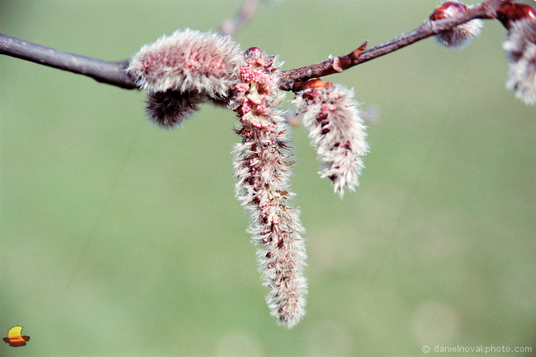 Catkins, Green Grass Theme, Spring in Western New York