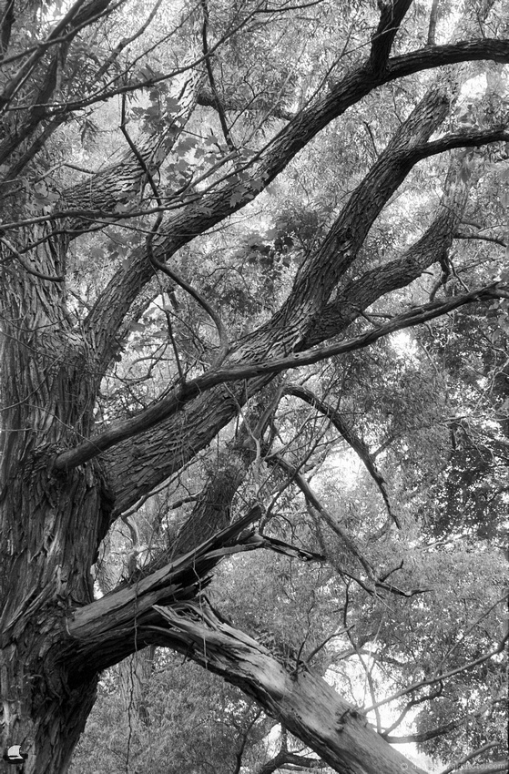 Old Branches, Birdsong on Double-X 5222, Partnership of the Passing Pentax K1000
