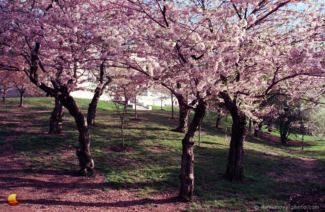 Cherry Tree Blossoms, Buffalo History Museum, Buffalo, NY