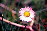 Pink-toned Daisy Flower in Letchworth State Park, New York