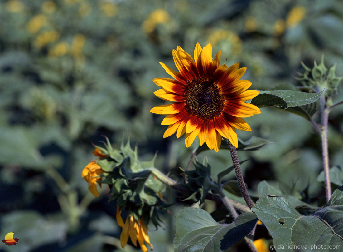 Orange and Yellow Sunflower, Sunflowers of Sanborn, New York