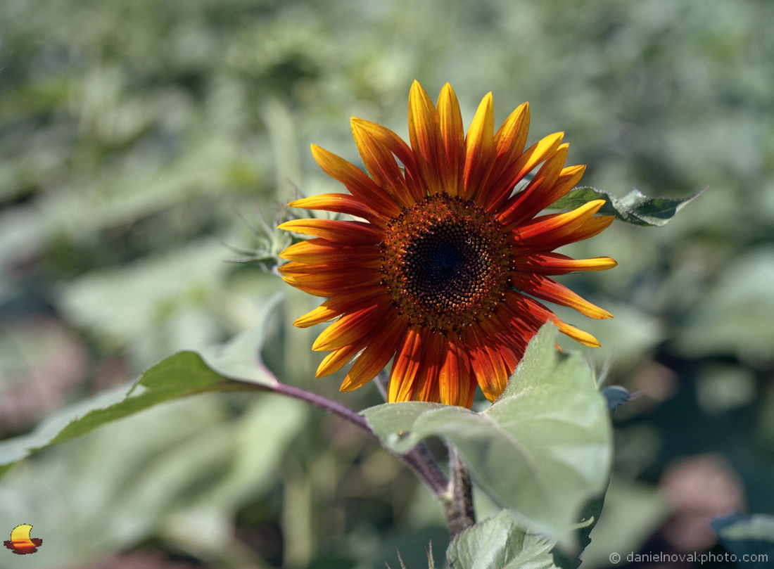 A Single Orange Sunflower, Sunflowers of Sanborn, New York