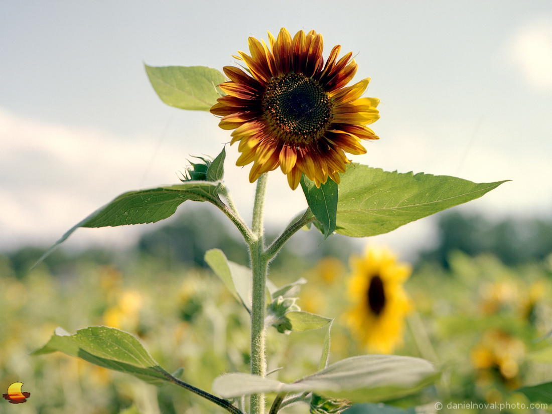 Tall Sunflower, Sunflowers of Sanborn, New York