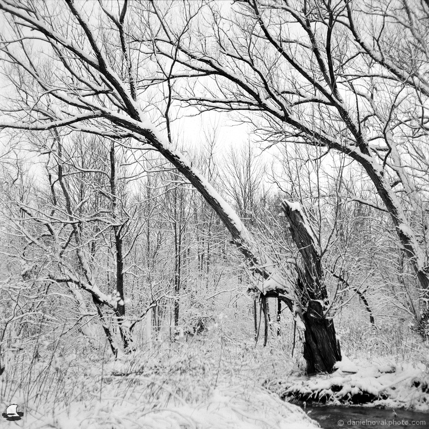 The Creek Guard Tree in Winter, Birdsong Park, Orchard Park, New York