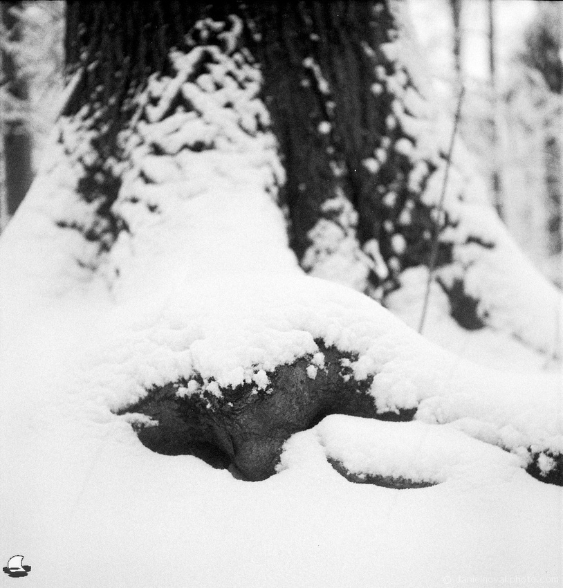 Snow Covered Nose in Winter, Wetlands Woods and Trees, Orchard Park, New York