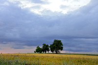 Family of Trees Ordered by Height under Cloudy Skies, Southern Moravian Fields, Czech Republic