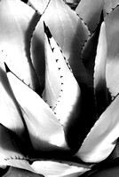 Curves of Agave, Century Plant. Chiaroscuro composition with light and dark areas.