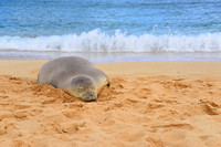 Hawaiian Monk Seal on Poipu Beach, Kauai, Hawaii.