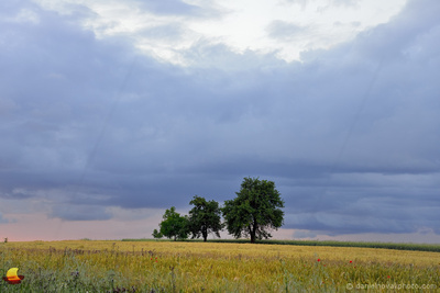Family of Trees, Southern Moravian Countryside, Czech Republic