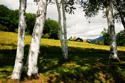 Birch trees and a mountain house with a view, Green Mountains, Vermont (VT).
