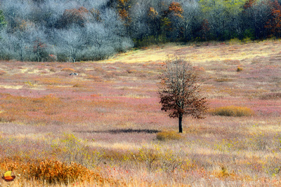 A Tree on the Big Meadow, Shenandoah National Park