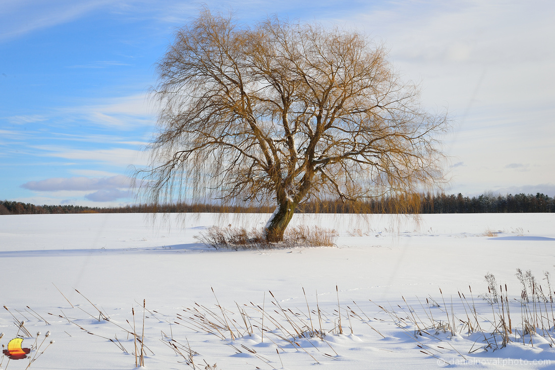 Willow Tree in Winter, Winter's Pond, Western New York Winter Landscape Photography