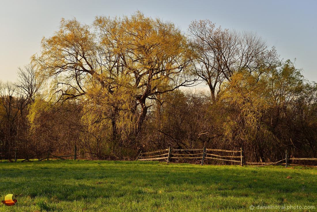 Spring at Knox Farm, Willow Tree at Sunrise