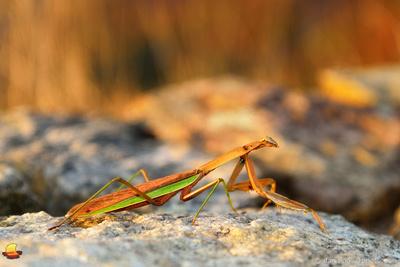 Praying Mantis, Shenandoah National Park, Virginia