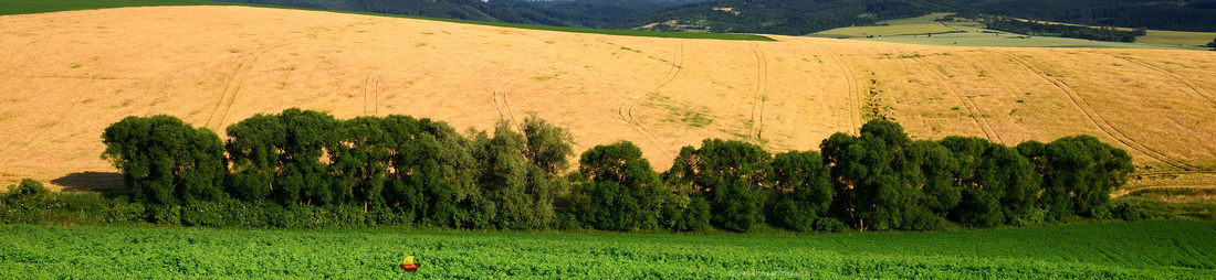 Row of Trees, Fields of Southern Moravia, Czech Republic, Europe
