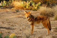 Eye contact with a coyote in the light of setting sun in Sonoran Desert, Arizona (AZ).