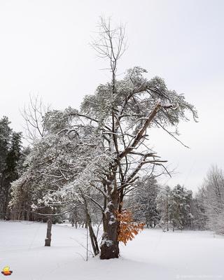 White Winter Tree, Chestnut Ridge Park, Orchard Park - Buffalo, NY